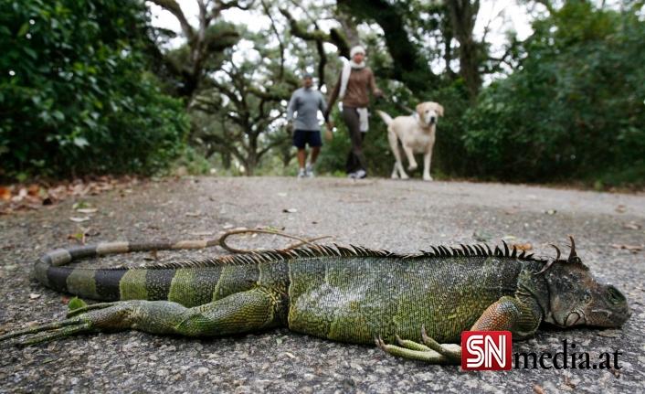 """ABD'nin Florida eyaletinde gökten """"iguana"""" yağıyor"""