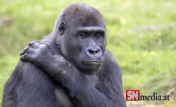 Bilim insanları şaştı: Gorillerin koronavirüs testi pozitif çıktı