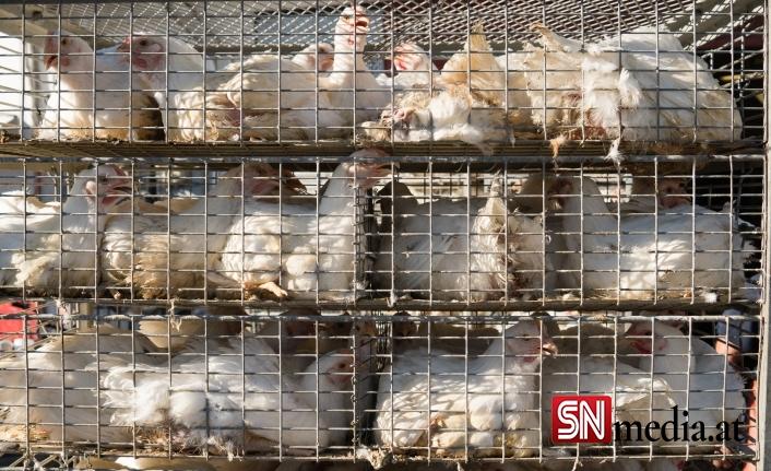 Komşuda kuş gribi: 62 bin hindi ve ördeğin öldürülmesine karar verildi