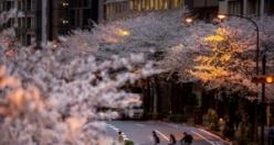 Sakura çiçekleri son bin 200 yıldır bu kadar erken açmadı: İklim değişikliği nedeniyle ekosistemler çökme noktasında