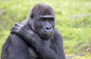 Bilim insanları şaştı: Gorillerin koronavirüs...