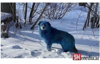 Kimyasal atık nedeniyle köpeklerin rengi mavi oldu