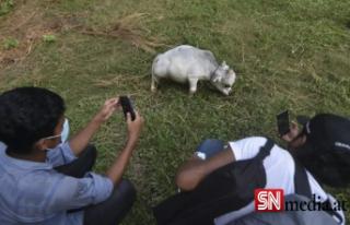 Binlerce kişi cüce ineği görmek için akın etti:...