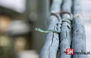 Graz'dan sonra Viyana'da yılan alarmı